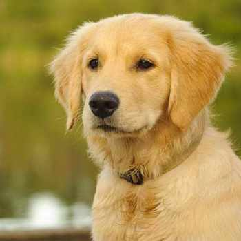 Golden Retriever Puppy Names Female