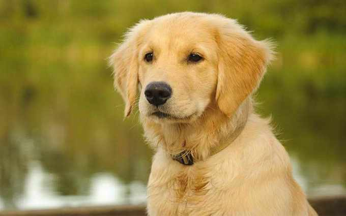 Golden Retriever Puppy Names Female