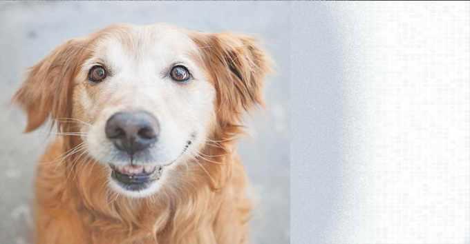 Golden Retriever Puppy Rescue Illinois
