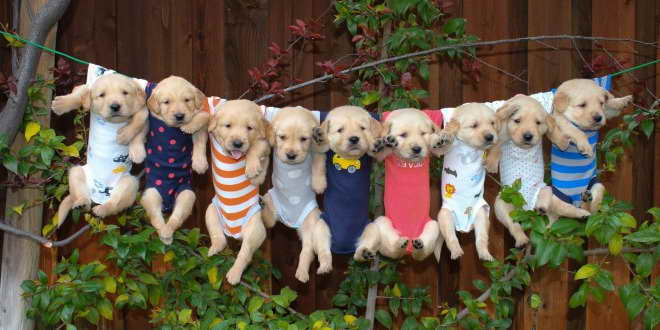 Golden Retriever Puppy Supplies