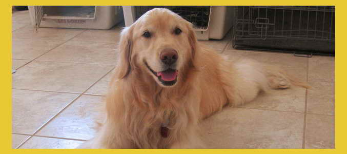 Golden Retriever Rescue Az