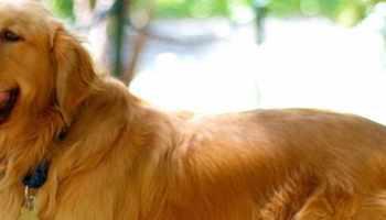Golden Retriever Rescue Ky Petsidi