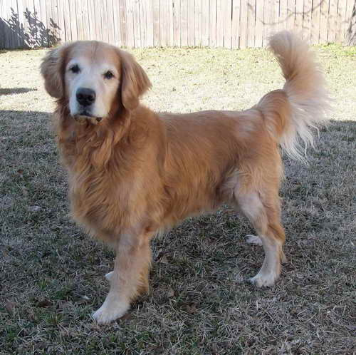 Golden Retriever Rescue Louisiana