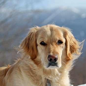 Golden Retriever Rescue Vermont