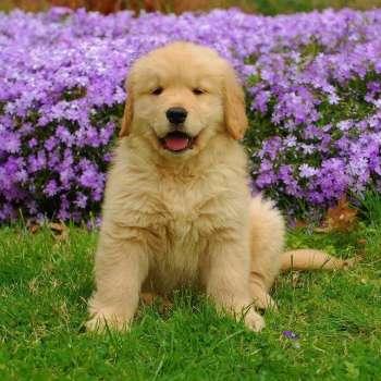 Golden Retriever Temperament Intelligent