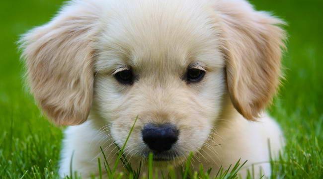 Golden Terrier Puppy