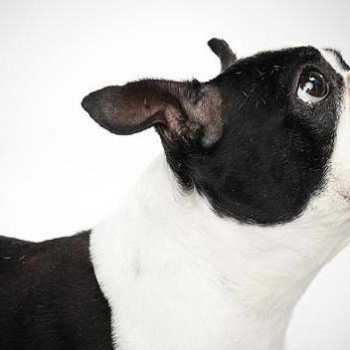Google Boston Terrier