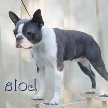 Gray Boston Terrier Puppies