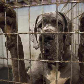 Great Dane Animal Rescue