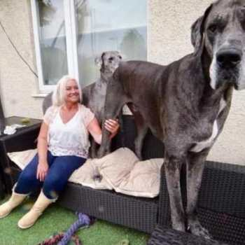 Great Dane Biggest Dog