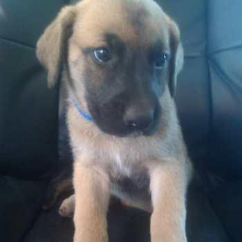 Great Dane German Shepherd Mix Puppies For Sale