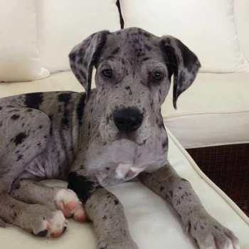 Great Dane Mastiff Mix Lifespan