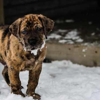 Great Dane Mastiff Mix Puppies