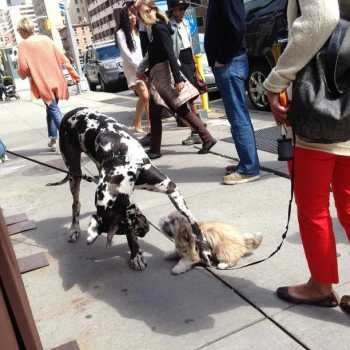 Great Dane Nyc