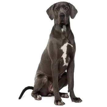 Great Dane Pet Insurance