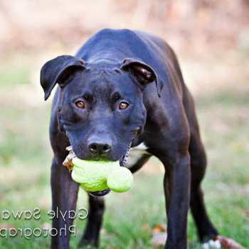 Great Dane Pitbull Mix Puppies For Sale
