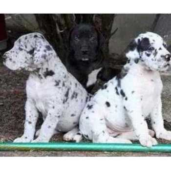 Great Dane Puppies For Sale In Maryland
