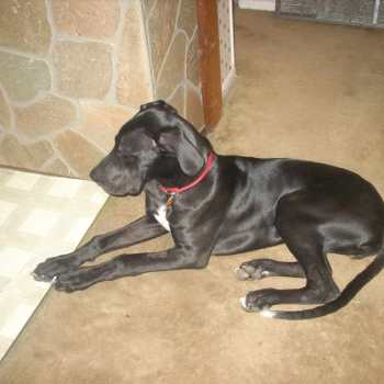 Great Dane Puppies For Sale In Pittsburgh Pa