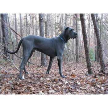 Great Dane Puppies For Sale In Sc