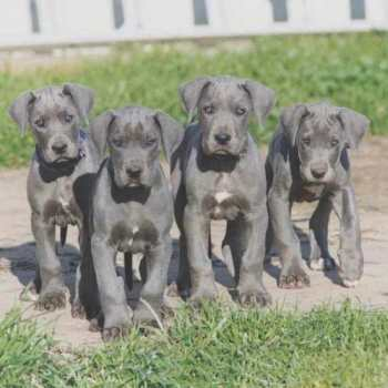 Great Dane Puppies For Sale In Washington
