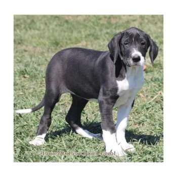 Great Dane Puppies For Sale Iowa