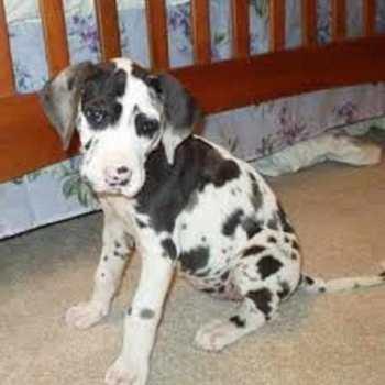 Great Dane Puppies Sacramento Ca