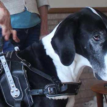Great Dane Service Dog Vest