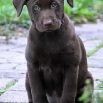 Greater Dayton Labrador Retriever Rescue