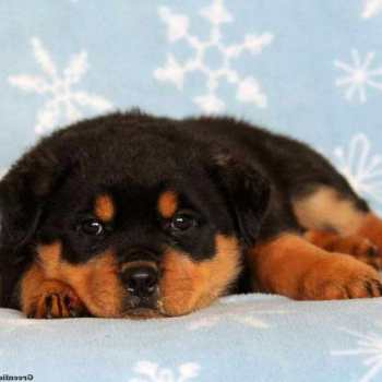 Greenfield Puppies Rottweiler