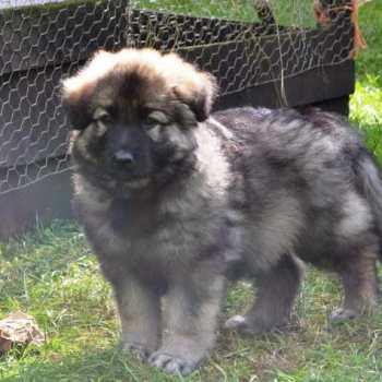 Grey German Shepherd Puppies For Sale