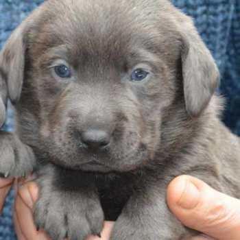 Grey Labrador Puppies For Sale