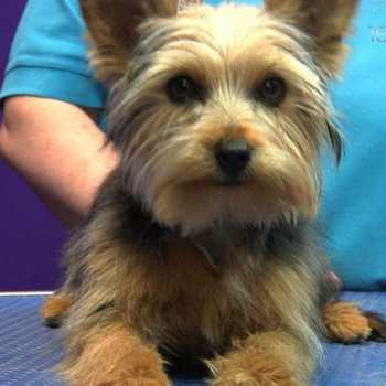 Groom A Yorkshire Terrier
