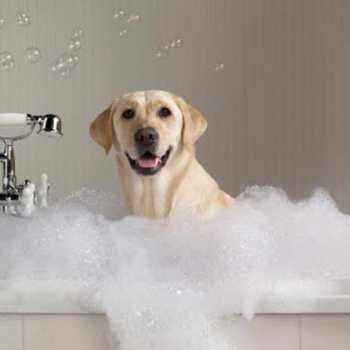 Groomed Labrador Retrievers