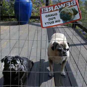 Guard Pug On Duty