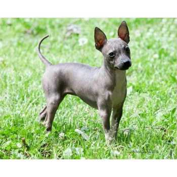 Hairless Terrier Puppies For Sale