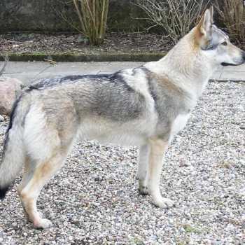 Half Wolf Half German Shepherd Puppies For Sale