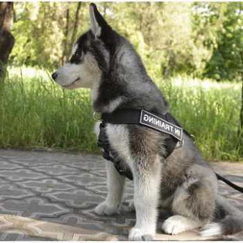 Harness For Husky Puppy