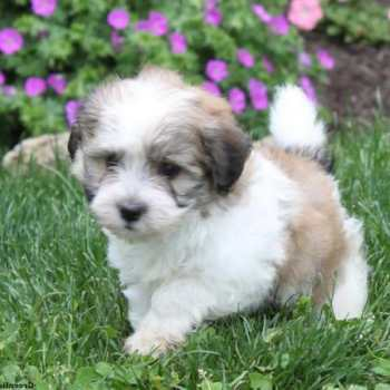 Havanese Pomeranian Mix Puppies For Sale