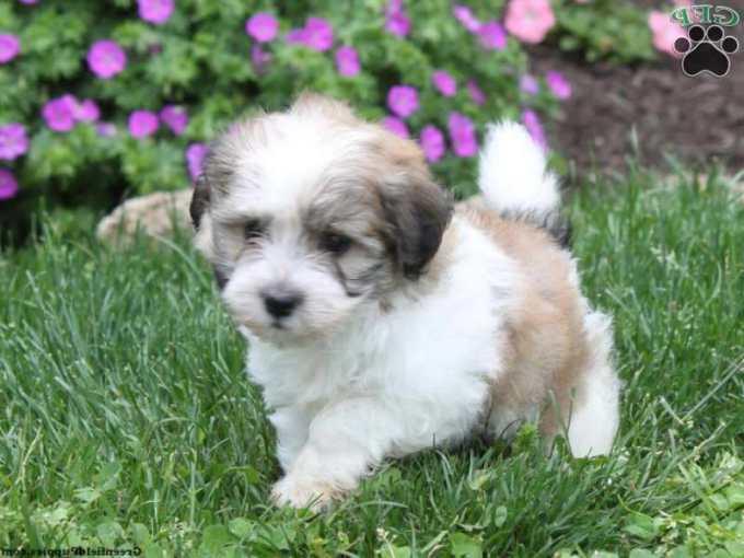 Havanese Pomeranian Mix Puppies For Sale