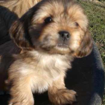 Havanese Terrier Mix Puppies