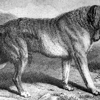 History Of The Mastiff