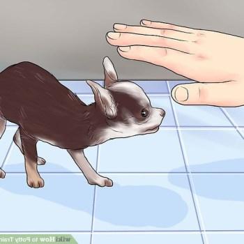House Train A Chihuahua