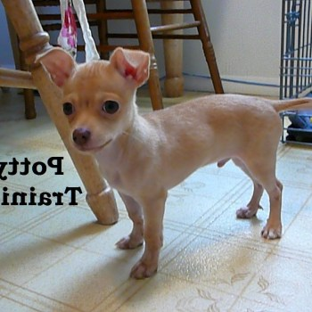 Housebreaking A Chihuahua In 5 Days