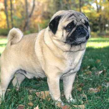 How Long Do Pug Dogs Live