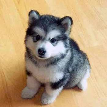 How Much Are Husky Pups