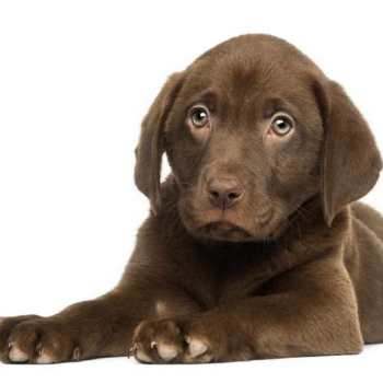 How Much Are Labrador Puppies