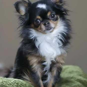 How Much Are Long Haired Chihuahua