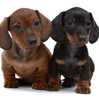 How Much Are Miniature Dachshund Puppies