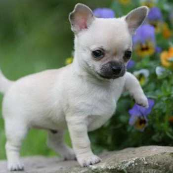 How Much Do Chihuahua Puppies Cost