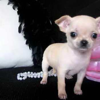 How Much Do Teacup Chihuahua Puppies Cost
